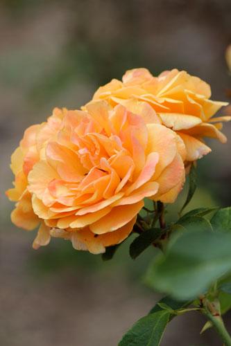 Roses, Bishop's Garden, National Cathedral: Washington DC