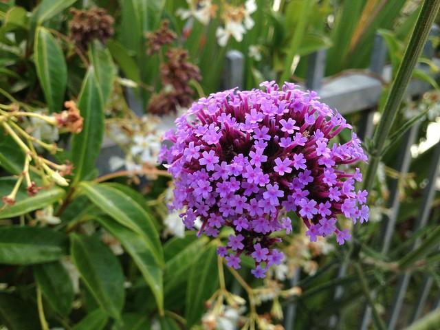 Purpletop vervain flowers (Verbena bonariensis, Verbenaceae)