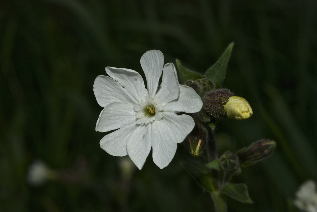 White Campion, Bladder Campion