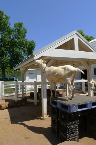 Goats eat roofs