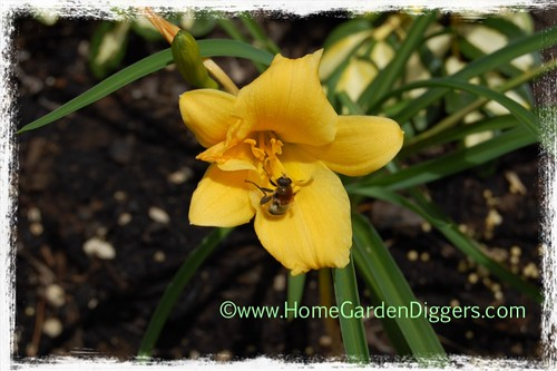 Stella D'Oro Daylily With Bee