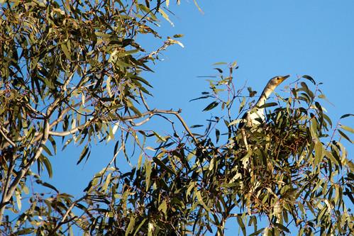 Pied Cormorant 2012-04-28 (_MG_6854)