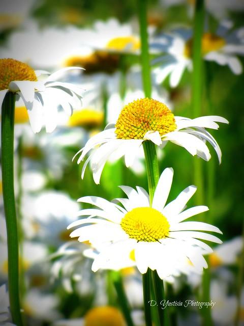 Daisies - Lomo effect