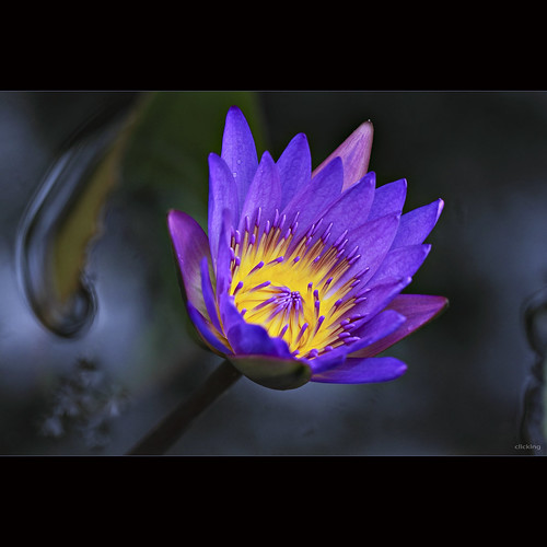 Brilliant Water Lily