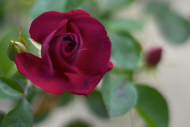Red Rose #4