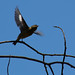 Warbler in flight