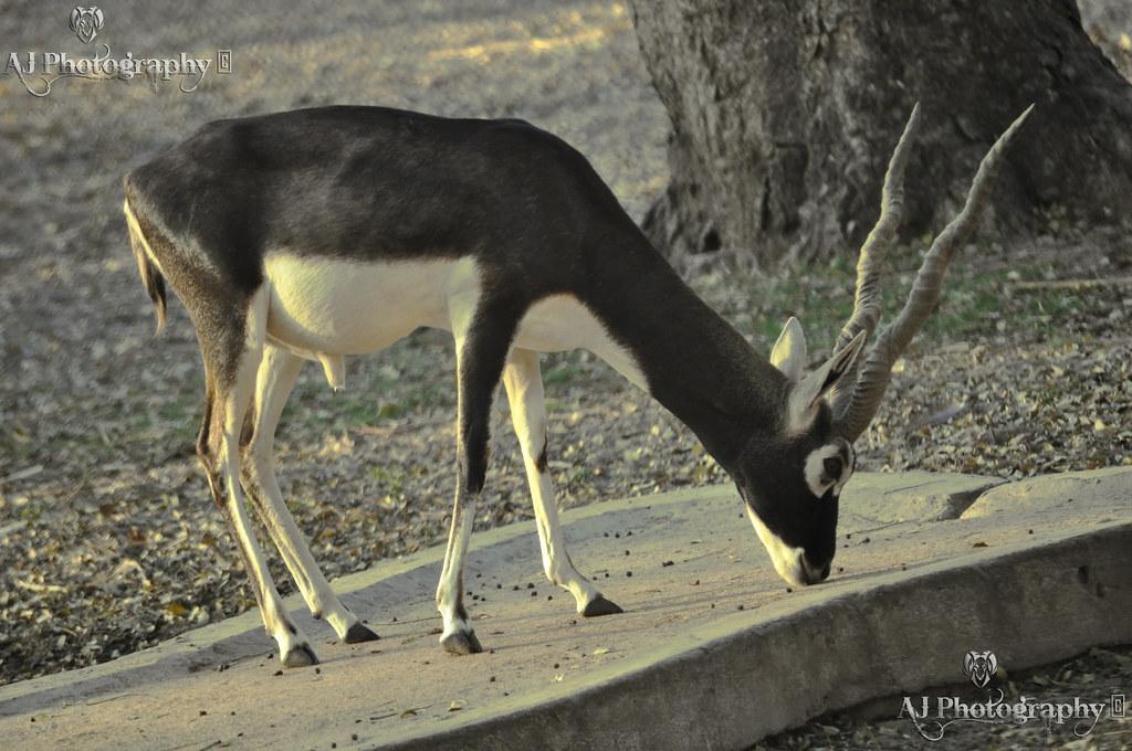 Black Deer At Flickr By Ajay Singh Kharayat