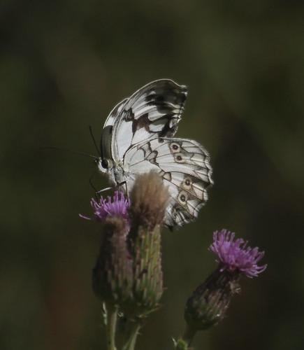 2012_07_08 RUI - Iberian Marbled White (Melanargia lachesis) 02
