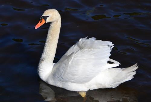 Svane / Swan