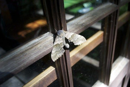 Majestic Moth