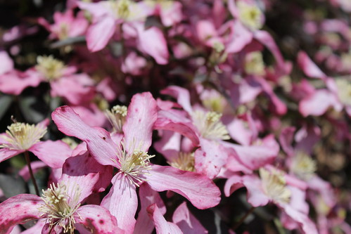 Clematis montana in full bloom