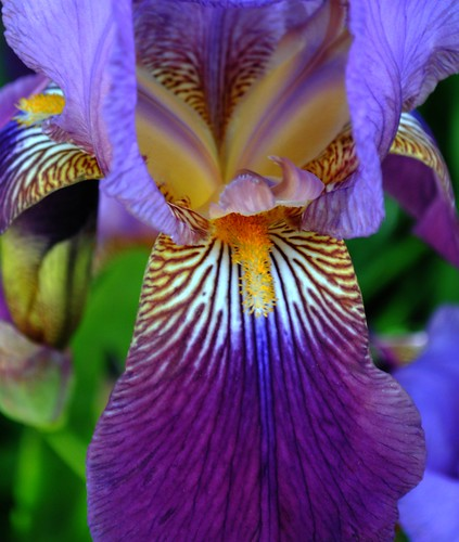 """Lines Iris"" Photo Credit: Kathy McGraw (4blogs on Flickr)"