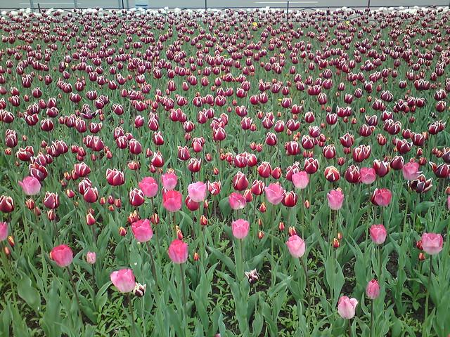 Поле тюльпанов // Field of tulips