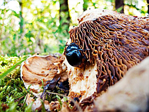 Beatle-eating-mushroom
