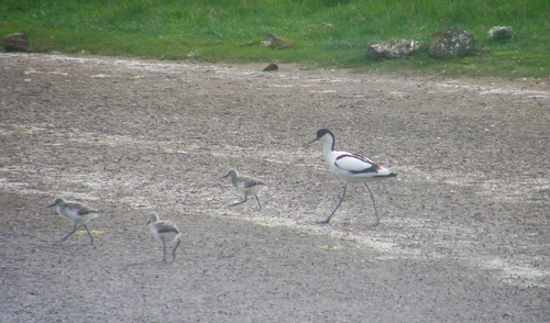 Avocet parent and chicks II