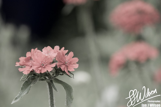 Pretty in Pink – Daily Photo (2nd July 2012)