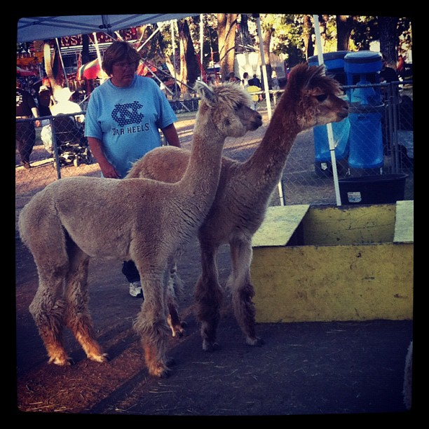Llamas at the fair!