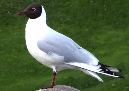 Lesser Black Faced Gull