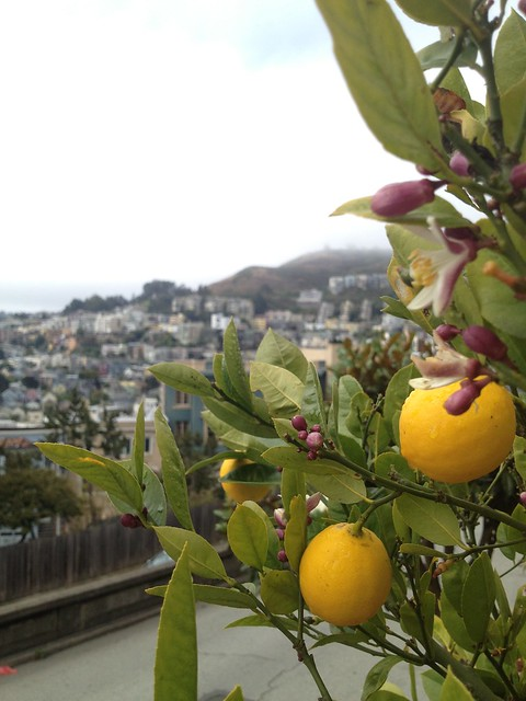 Ornamental lemon tree (Citrus sp., Rutaceae)