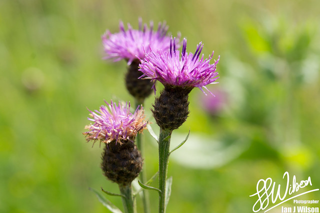Purple Thistles – Daily Photo (25th July 2012)