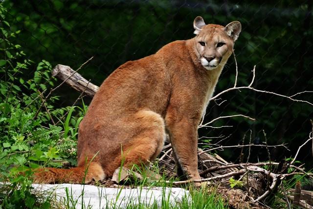 Glaring Cougar