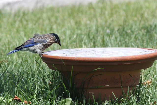 Bluebird Baby