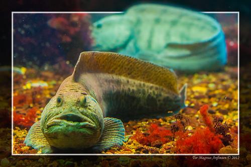 Catfishl at the aquarium in Bergen by Tor Magnus Anfinsen