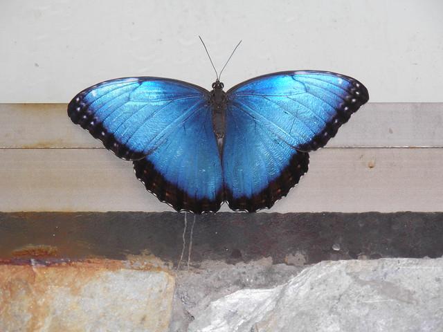 Голубая бабочка // Blue butterfly