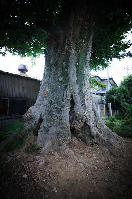#39 The Giant Zelkova of Hongo-cho Atago Shrine
