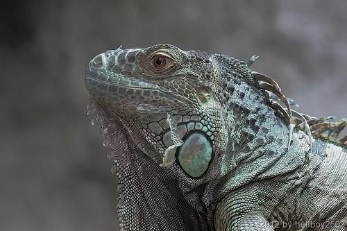 Leguane (Iguanidae) by hellboy2503