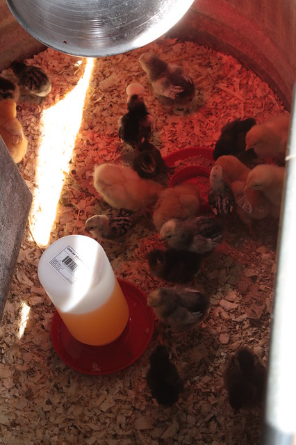 Chicks at home