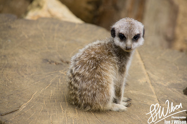 Meercat.cute – Daily Photo (5th July 2012)