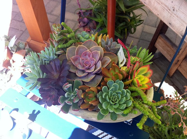 cedros succulents3