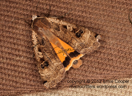 tussock moth © Ernie Cooper sm for post