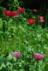 DSC_1355-poppies