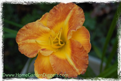 Orange Daylily With Yellow Throat