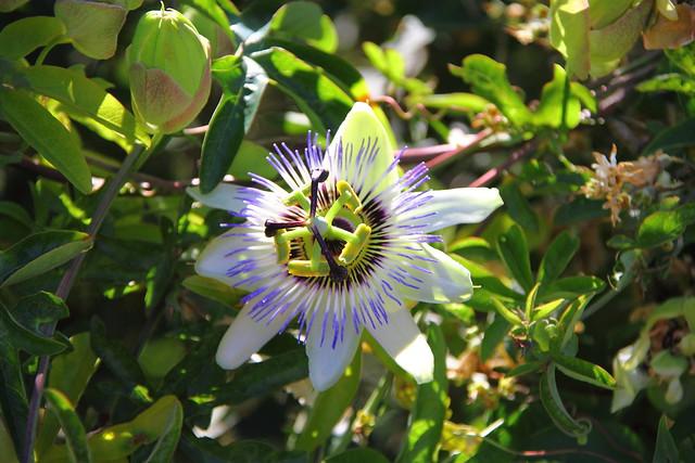 Pasionaria, Flor de la pasión, Pasionaria azul #Photography  #Foto 8