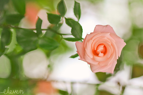 Twirling Rose by Eleven ~ were different but the same -