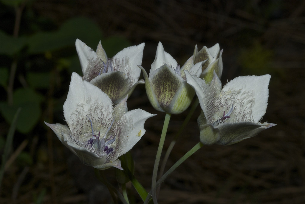 Tolmie's mariposa lily, Tolmie's star tulip, Cat's ears