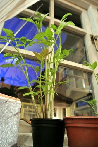 Towering Tomato - 24th July 2012 - day 55