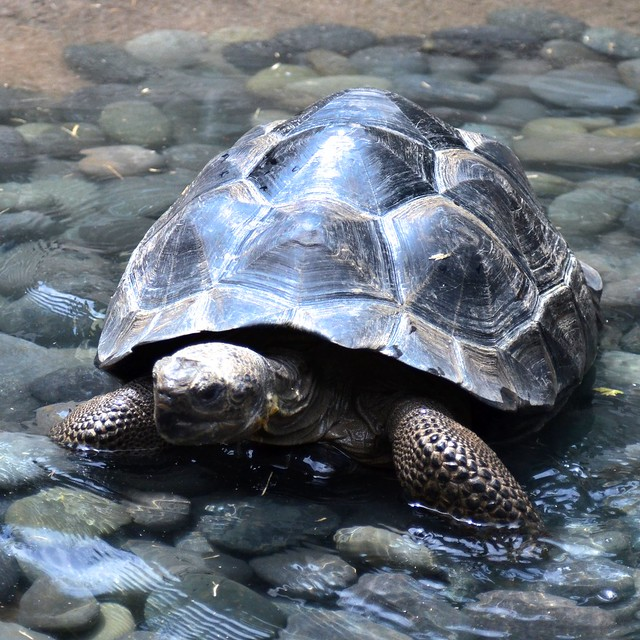 Galápagos tortoise (In the Water)