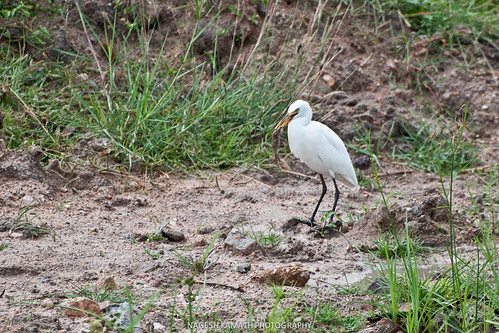 Cattle Egret with Feed
