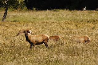 Elk at Prairie Creek Visitor Center