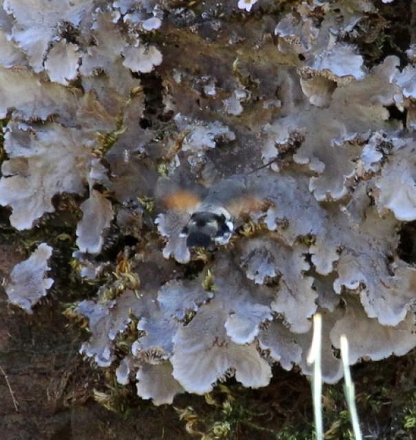 Hummingbird Hawk-moth (Macroglossum stellatarum) 01