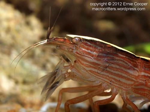 Flower Shrimp (Atyopsis moluccensis) © Ernie Cooper sm for post
