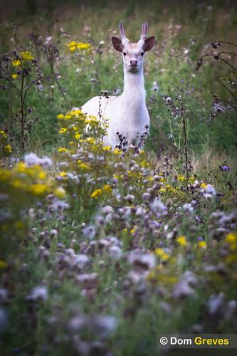 White sika deer