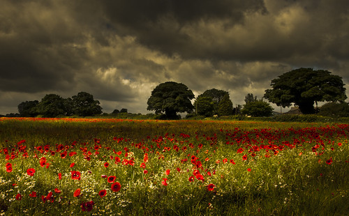 The Lamport Poppies
