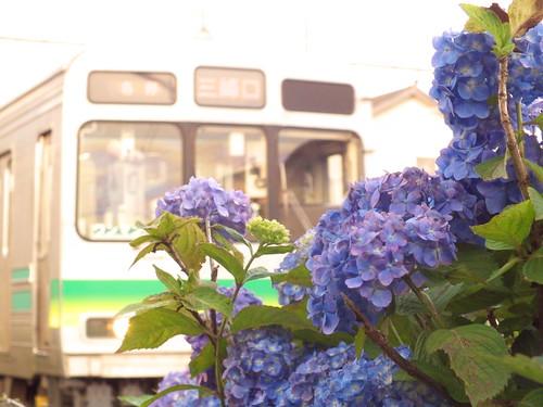 紫陽花と7500系