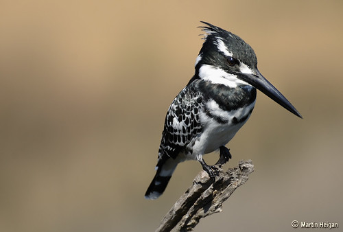 Pied Kingfisher by Martin_Heigan