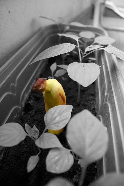 banana-sola